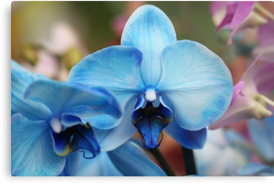 Blue Orchid 7053 by Thomas Murphy