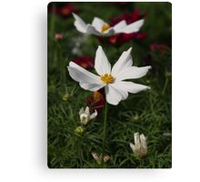 White Cosmos 7133 Canvas Print