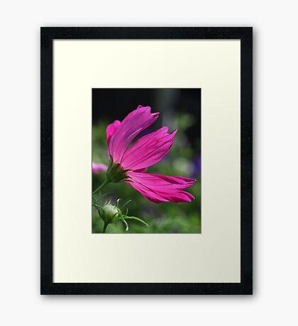 Cosmos Flower 7166 Framed Print