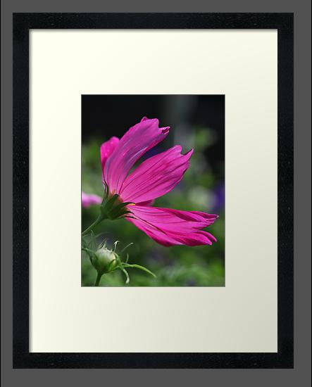 Cosmos Flower 7166 by Thomas Murphy