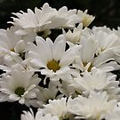Daisy Flowers 7083 by Thomas Murphy