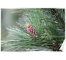 Pine Cone 3075 Poster