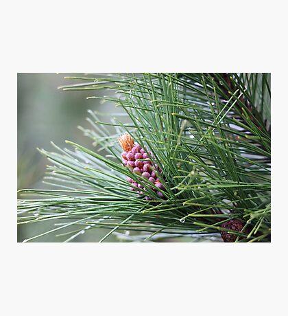 Pine Cone 3075 Photographic Print