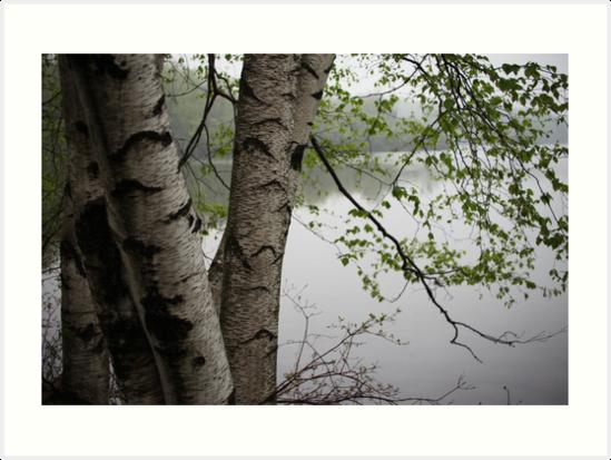 Birch Tree Waterscape 3229  by Thomas Murphy