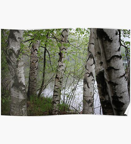Birch Tree Waterscape 3228 Poster