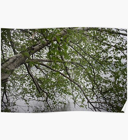 Birch Tree Waterscape 3129 Poster
