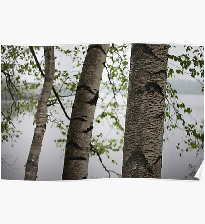 One Two Three Birch Tree 3238 Poster