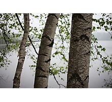 One Two Three Birch Tree 3238 Photographic Print