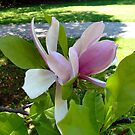 Magnolia in Spring by Jane Neill-Hancock