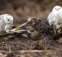 Snowy Owl Pair by Jim Stiles