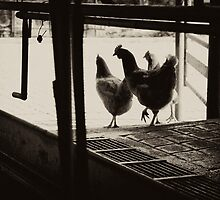 Chooks passing through the dairy, Yackandandah by jenenever