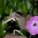Privet hawk moth by Andrew Jones