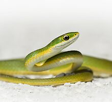 Rough Green Snake by Kristian Bell