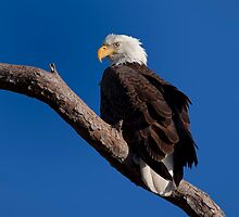 Bald Eagle by Kristian Bell