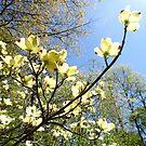 Spring Dogwood by Jasmine Staff