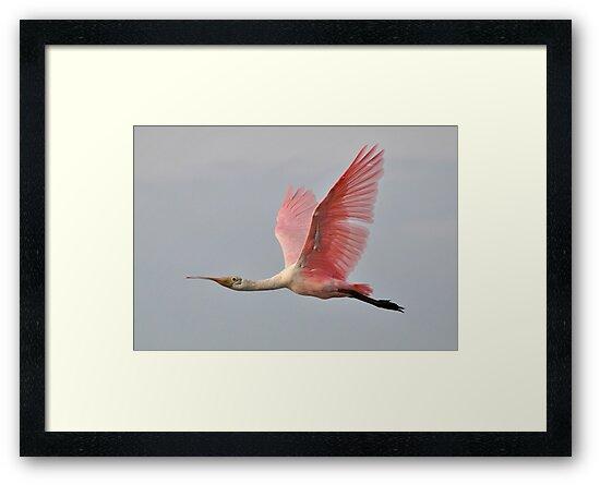 Roseate Spoonbill In Flight by Kathy Baccari