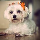 Morkie Halloween by sullyshah