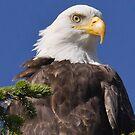 Female Bald Eagle by Carl Olsen