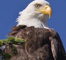 Female Bald Eagle by Carl Olsen