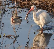 White Ibis eating a young Snake by venny