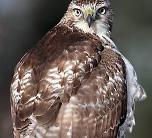 Hawk Eye(s) / Red Tail Hawk by Gary Fairhead