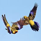 Dance of the Yellow Crimson Rosella by Bill  Robinson