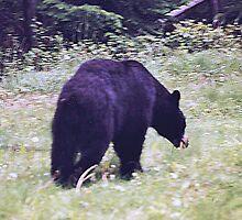 Black Bear, Jasper National Park, Alberta, Canada by Adrian Paul