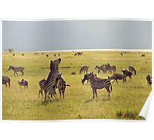 Jostling zebras Poster