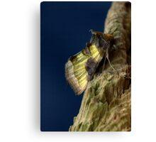 burnished brass moth. Canvas Print