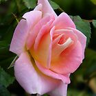 Palest of Pinks .. a rose by LoneAngel