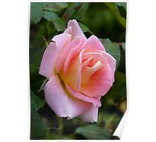 Palest of Pinks .. a rose Poster
