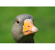 Greylag Goose Close-Up Photographic Print