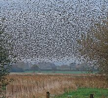 Starlings Roosting On The Levels by Lauren Tucker