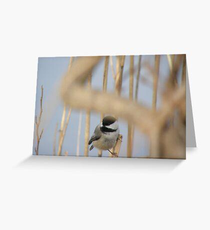 black cap chickadee Greeting Card