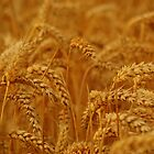 Golden Wheat Field by Lauren Tucker
