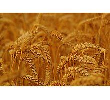 Golden Wheat Field Photographic Print