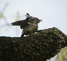 redbellied woodpecker opens wings by tuftedtitmouse2