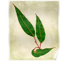 Red Flowering Gum Leaves Poster