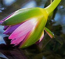 Water Lilly by cherylc1