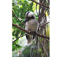 Kookaburra in a Gum Tree Photographic Print