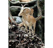 Barbary Sheep Photographic Print