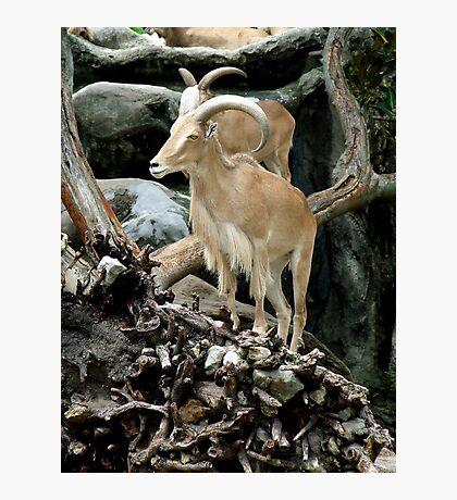 Barbary Sheep Photographic Print