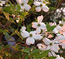 Flowering Dogwood in The Light by TrendleEllwood