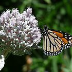 Monarch butterfly on flower head by nzpixconz