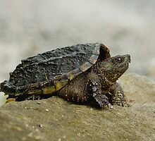 Baby Snapping Turtle by Wayne Wood
