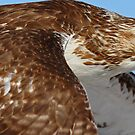 Red-tailed Hawk Close Fly-by by Bill McMullen