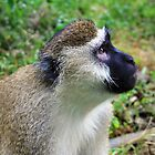 The pensive Vervet monkey by Hannah Nicholas