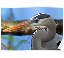 Great blue heron up close(without fish)! Poster