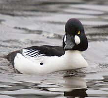 Common Goldeneye Drake - Lost Lagoon, Stanley Park, Vancouver, B.C. by Stephen Stephen