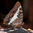 Charaxes brutus natalensis - White Barred Emperor by Peter Wickham